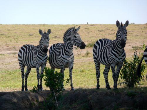zebra kenya wildlife