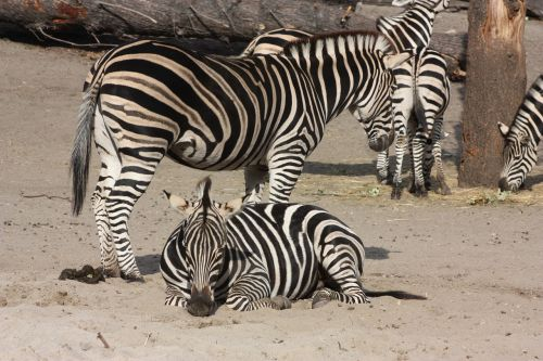 zebra zoo wroclaw