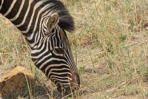 zebra exciting adventure