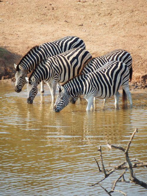 zebra addo elephant park south africa