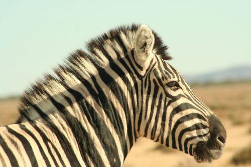 zebra single-hoofed zebra stripes