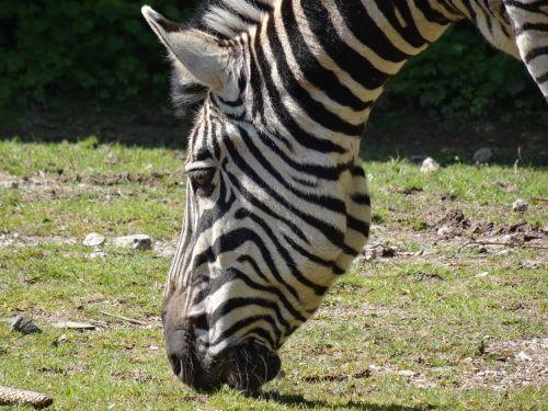 zebra animal africa