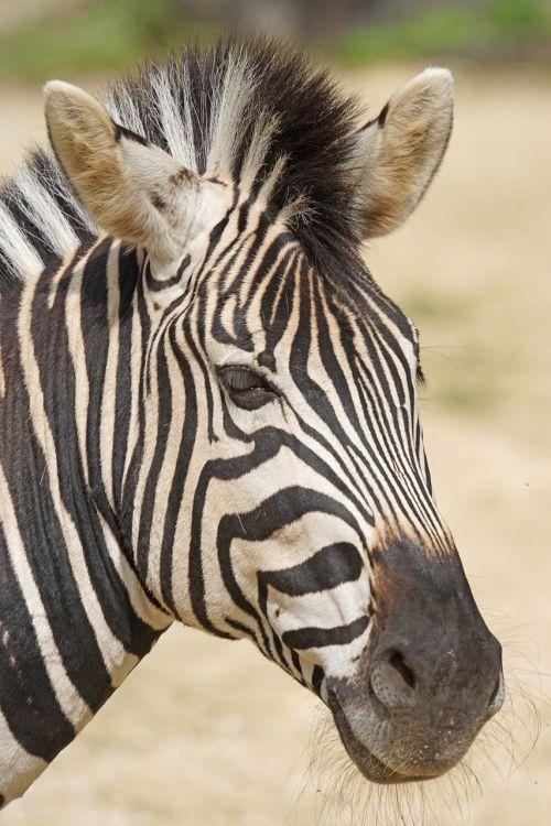 zebra chapman burchell's zebra like a horse