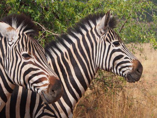 zebra pilanesberg wilderness