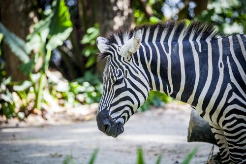 zebra grevy black and white striped