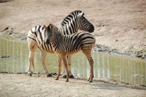 zebra b black white