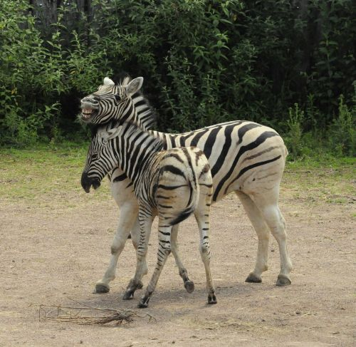 zebra baby zebra stripes