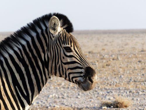 zebra zebra crossing africa