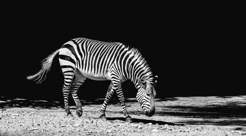 zebra animal zoo