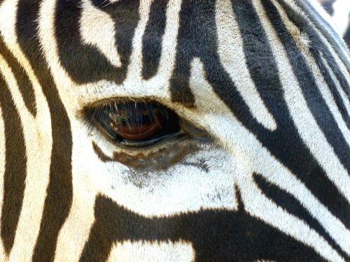 zebra head eye