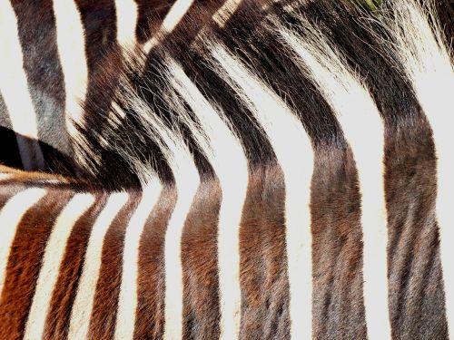 zebra animal pair