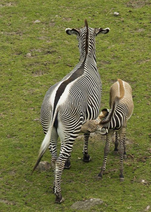 zebra foal fawn