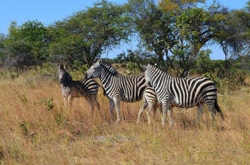 zebra zebras wild