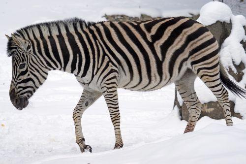 zebra chapman steppe zebra perissodactyla