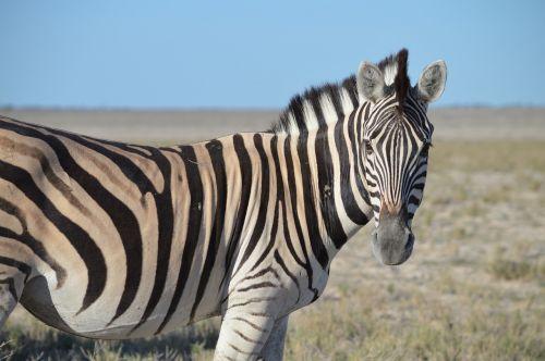 zebra head striped