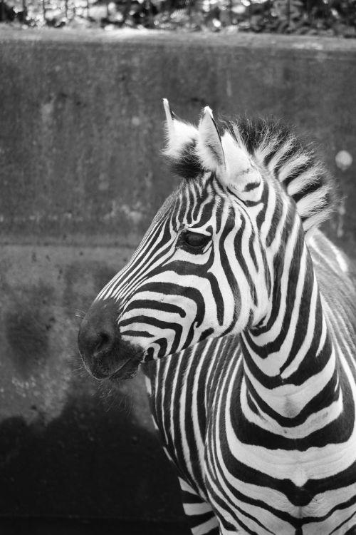zebra zoo black and white