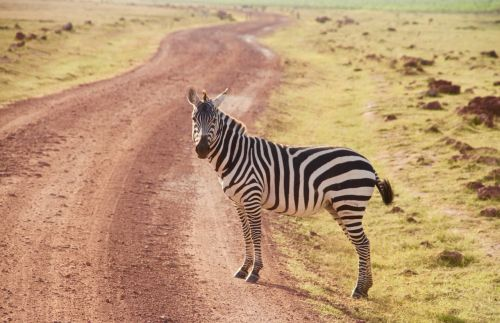 zebra kenya amboseli