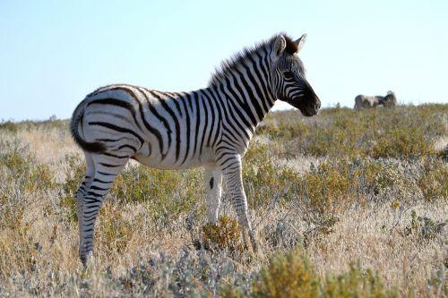 zebra baby small