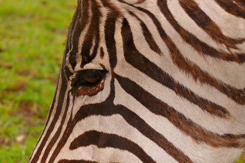 zebra striped brown