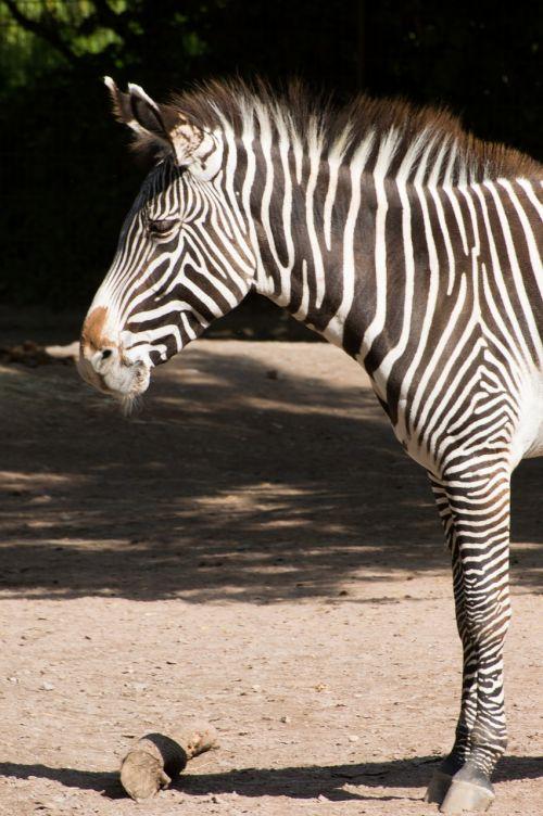 zebra black white