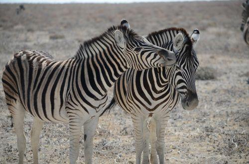 zebra namibia black and white striped