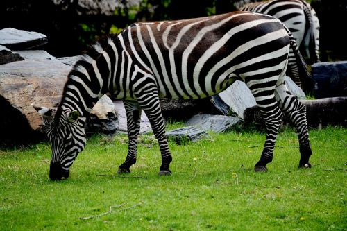 zebra zoo animal