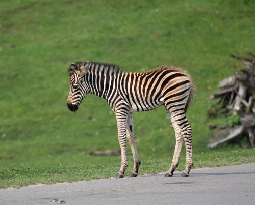 zebra,baby,small,sweet