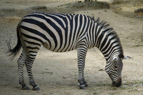 zebra africa safari