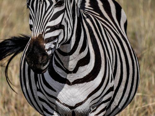 zebra frontal striped