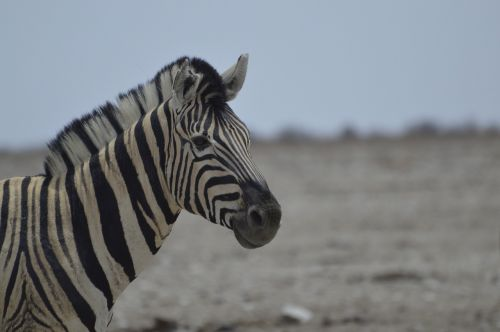 zebra africa national park
