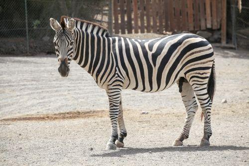zebra animal striped