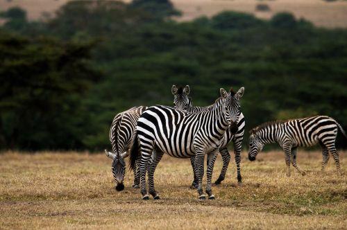 zebra africa kenya