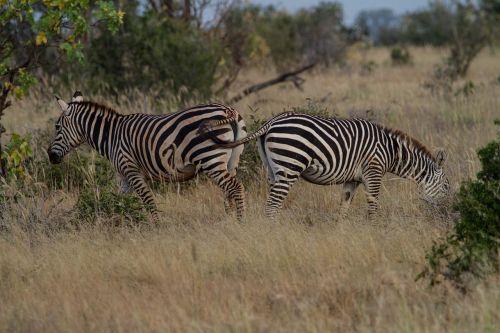 zebra mammal africa