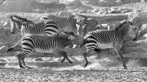 zebra mountain zebra namibia