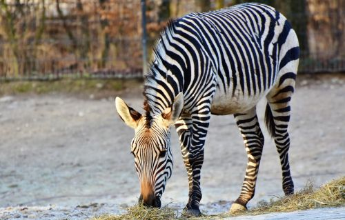 zebra zebra crossing black and white
