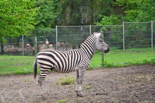 zebra animals zebra crossing