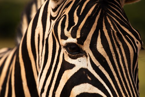 zebra  addo elephant park  animals