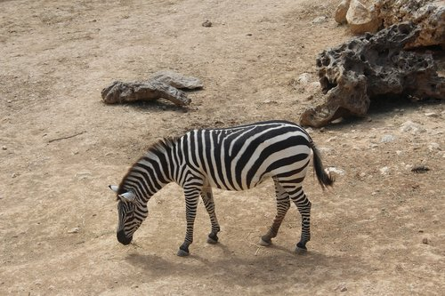 zebra  the biblical zoo  animals