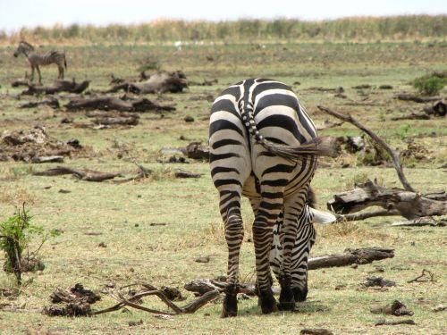 zebra ass back