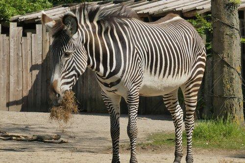 zebra  zoo  food