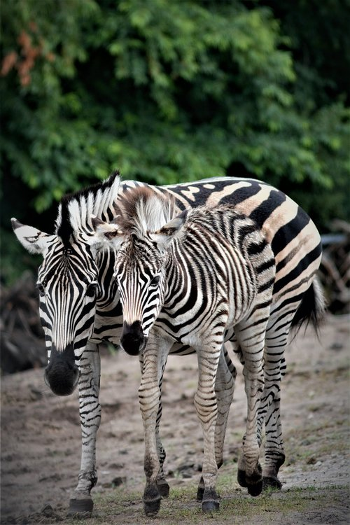 zebra  filly  mare