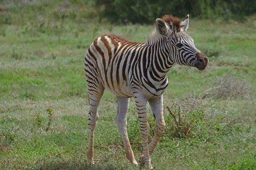 zebra  young  animal