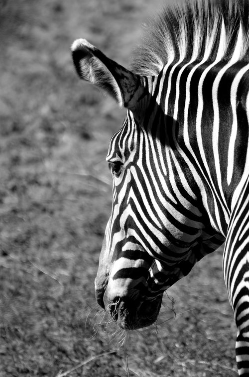 zebra  animal reserve  wildlife
