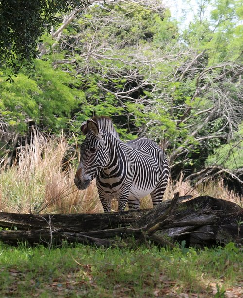 zebra  photo taken at animal kingdom  orlando fl
