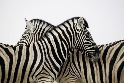 zebra  stripes  couple