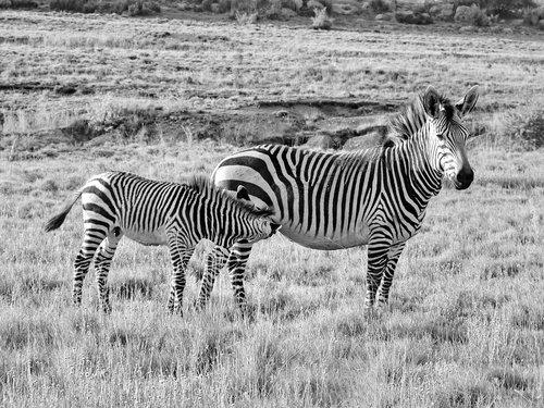 zebra  hartmann's  mother