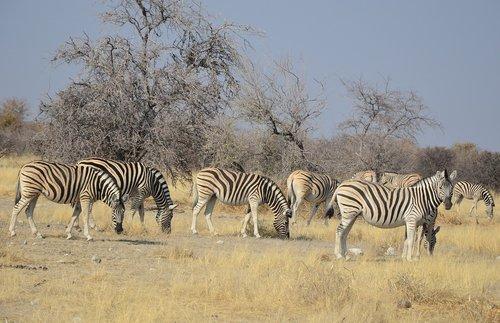 zebra  africa  namibia