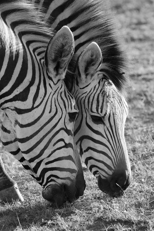 zebra  zebras  hartmann's