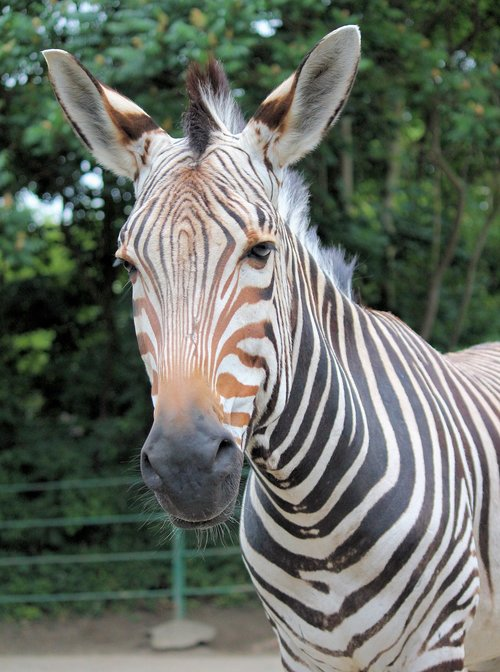 zebra  lichokopytník  striped