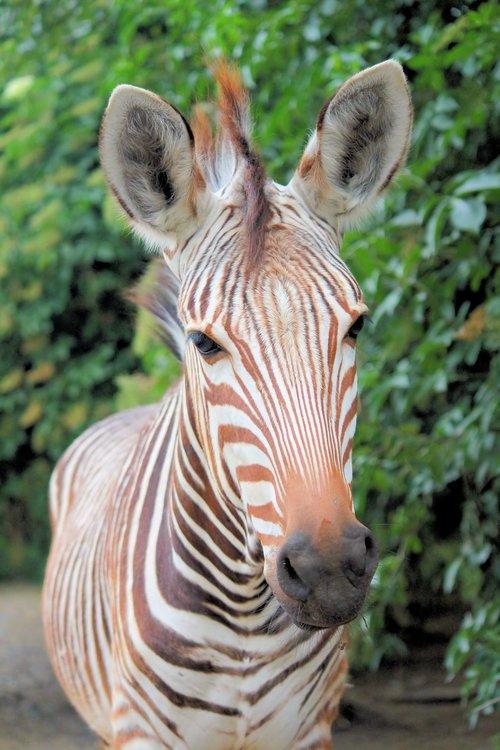 zebra  wild ginger  animal